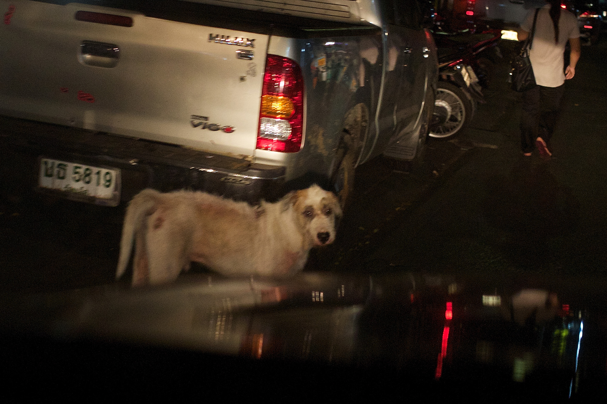 stray dog, in headlamps